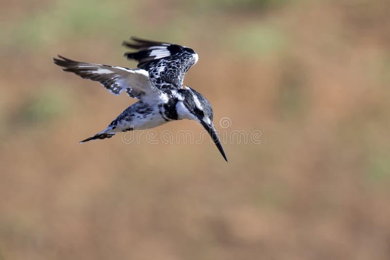 Librazione pezzata del martin pescatore in volo da cercare immagini stock