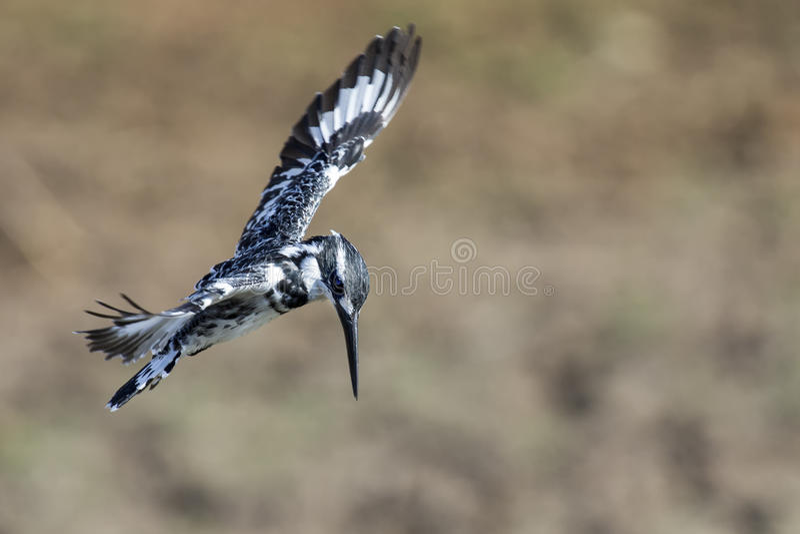Librazione pezzata del martin pescatore in volo da cercare immagini stock libere da diritti