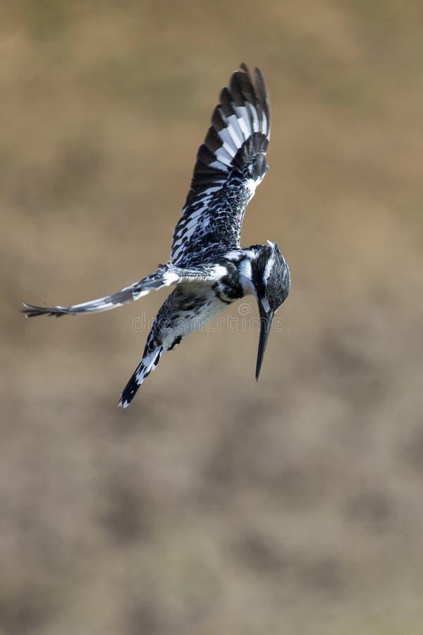 Librazione pezzata del martin pescatore in volo da cercare fotografie stock libere da diritti