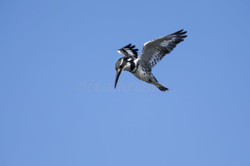 Librazione pezzata del martin pescatore in volo da cercare fotografia stock