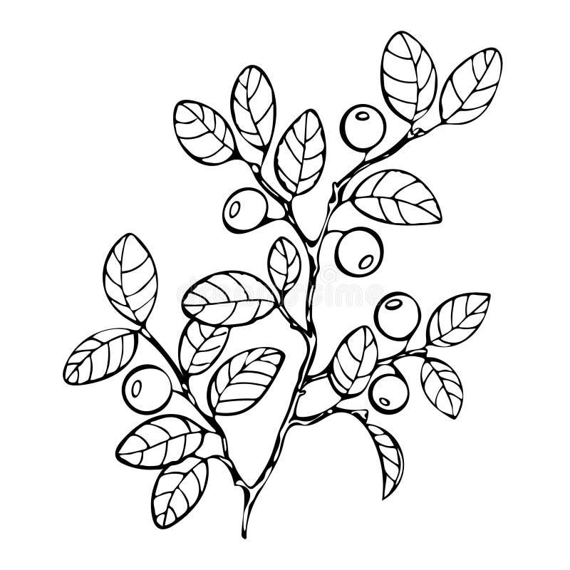 Libro da colorare del mirtillo, schizzo, illustrazione in bianco e nero, monocromatica Il mirtillo del ramo lascia le bacche Fore royalty illustrazione gratis