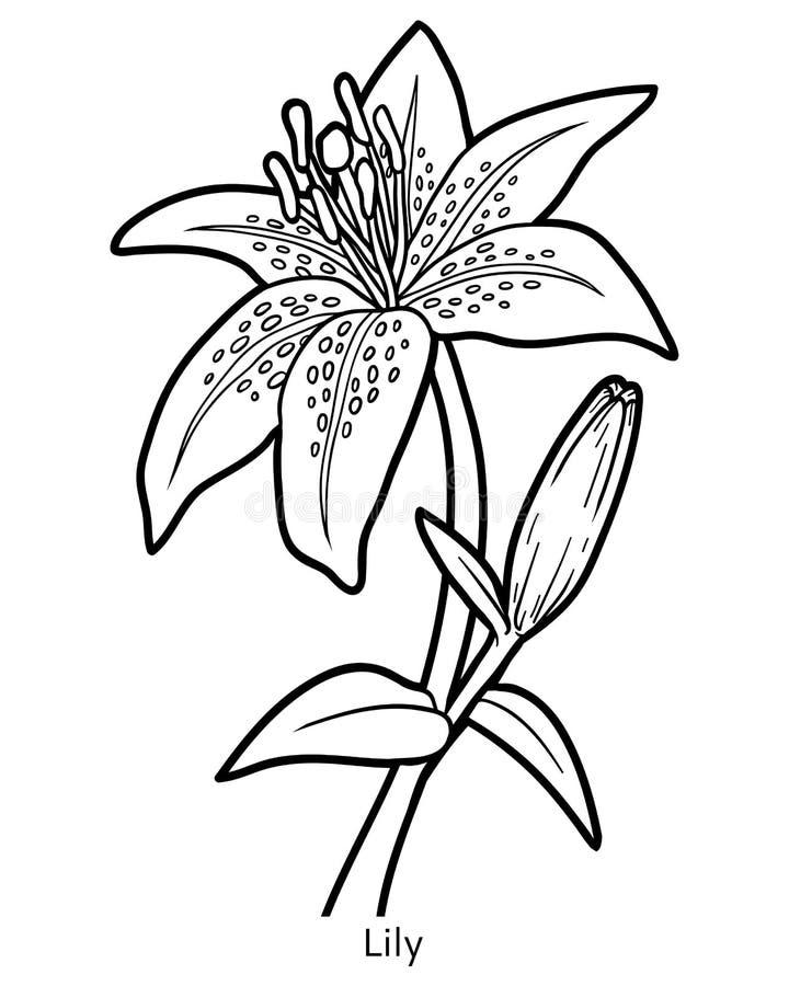 Libro de colorear, lirio de la flor ilustración del vector