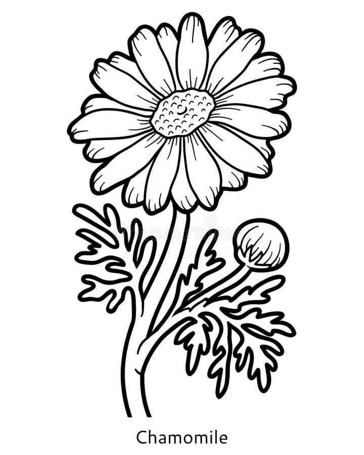 Libro de colorear, manzanilla de la flor stock de ilustración