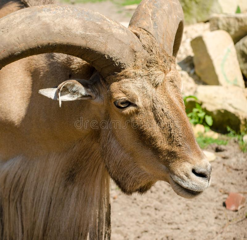 Libyan barbary sheep in Wroclaw Zoo in summer. Close up. Portrait royalty free stock images