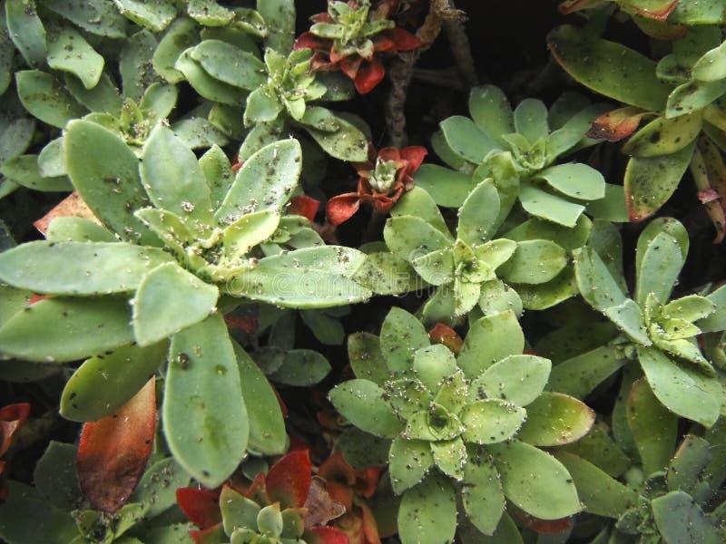 Lice on Sedum palmeri plant. Swarm of lice on the sedum salmeri, a succulent plant from Mexico mountain royalty free stock photos