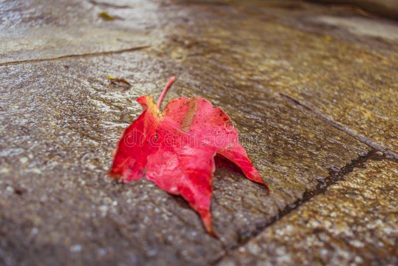 Licença caída vermelha na terra foto de stock royalty free