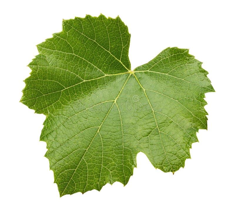 Licença da uva isolada no fundo branco fotografia de stock