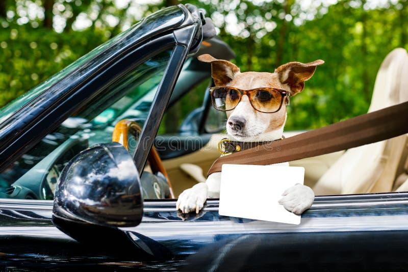 Licença de motoristas do cão que conduz um carro imagem de stock