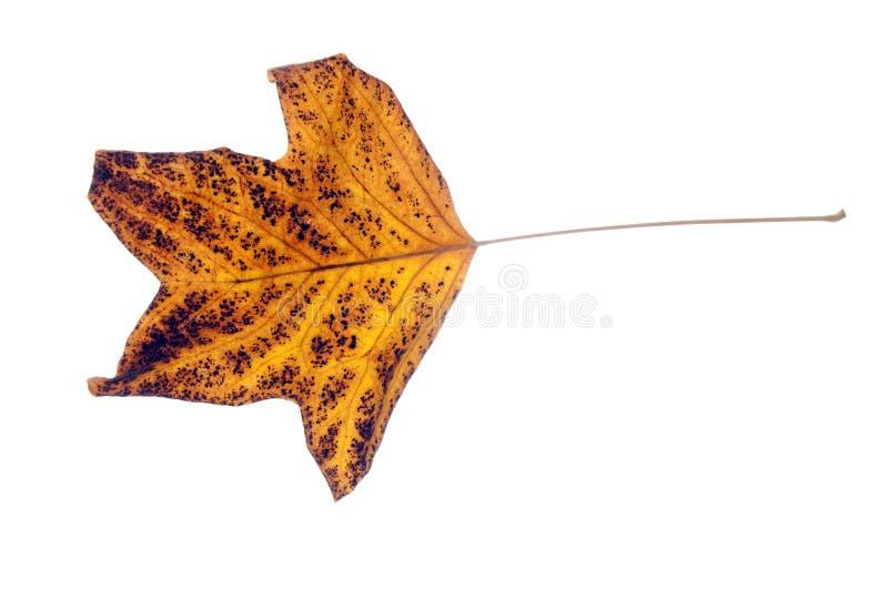 Licença de outono amarela imagens de stock royalty free