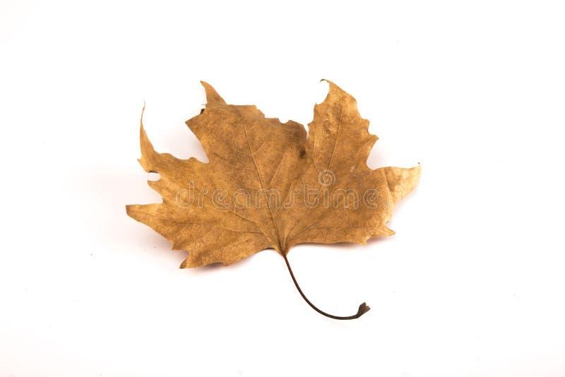 Licença de outono isolada no fundo branco fotos de stock