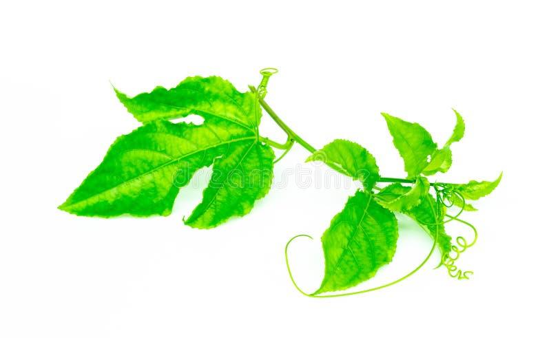 Licença do verde do brigth do ` s do fruto de paixão isolada no fundo branco fotografia de stock royalty free