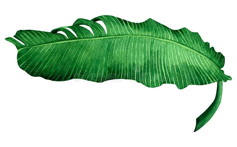 Licença do verde da pintura da aquarela isolada no fundo branco A banana pintado à mão da ilustração da aquarela sae de l exótico ilustração do vetor