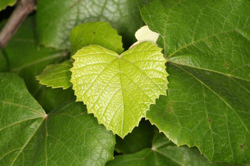 Licença fresca pequena da uva no backgroun com verde velho imagem de stock