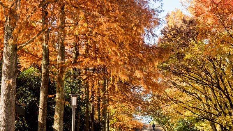 A licença seca vermelha do pinho e a árvore da nogueira-do-Japão em osaka estacionam em torno de osaka Ca fotografia de stock royalty free