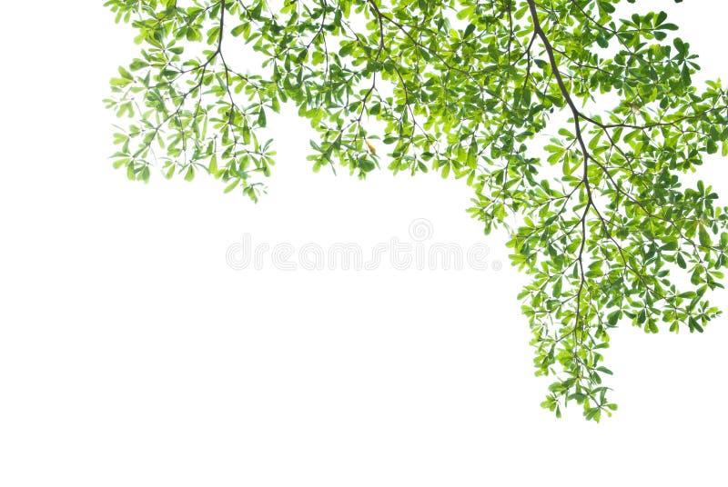 Licença verde no fundo branco imagem de stock royalty free