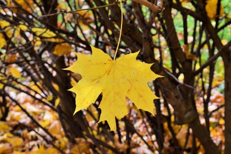 Licencia amarilla del arce del solo otoño - detalles del árbol fotos de archivo