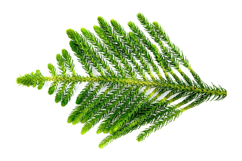 Licencia del pino de la isla de Nolfolk en el fondo blanco fotos de archivo libres de regalías