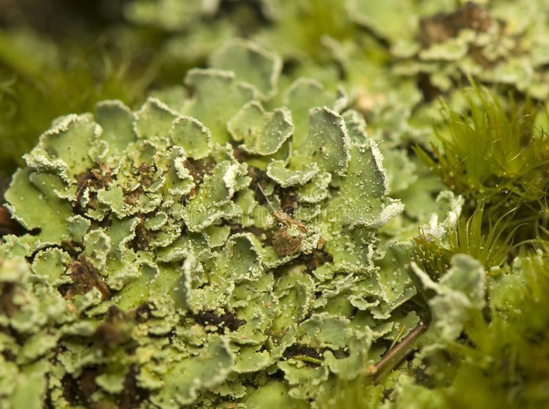 Download Lichen stock image. Image of woods, plant, leaf, nature - 18768139