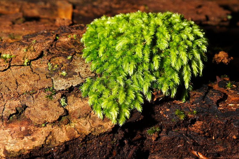 Download Lichen stock image. Image of lichen, pearly, moss, green - 7458779