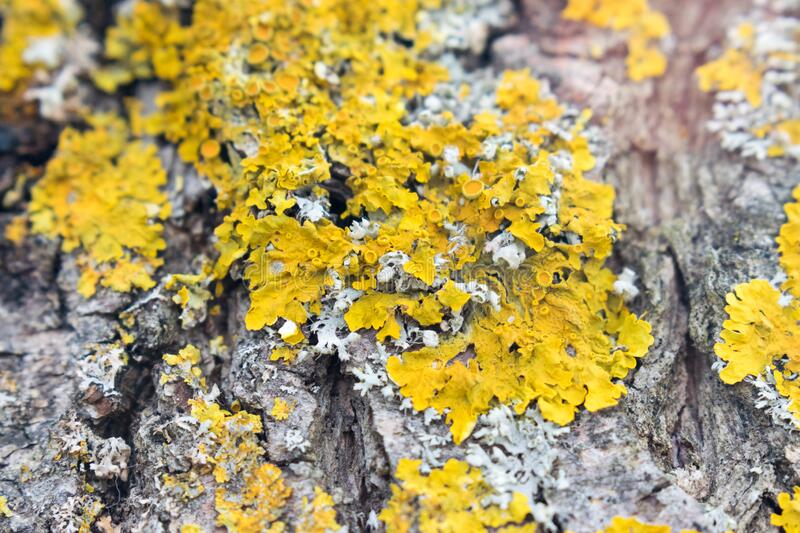 Lichen on a bark. Tree bark and yellow lichen Caloplaca marina fungi species. Close-up view royalty free stock photo