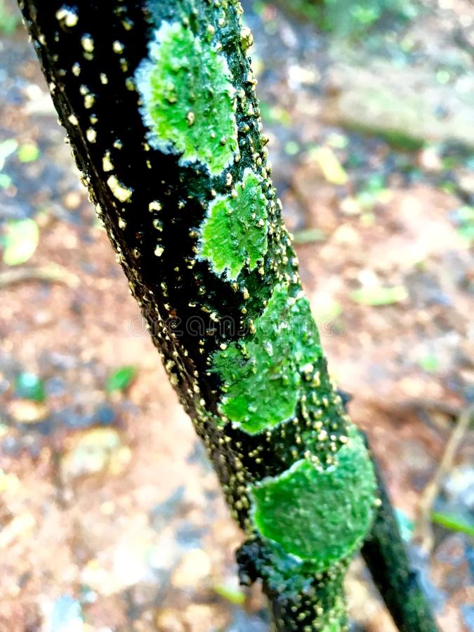 Lichen. A lichen is a composite organism that arises from algae or cyanobacteria living among filaments of a fungus in a symbiotic relationship. Many lichens are royalty free stock image
