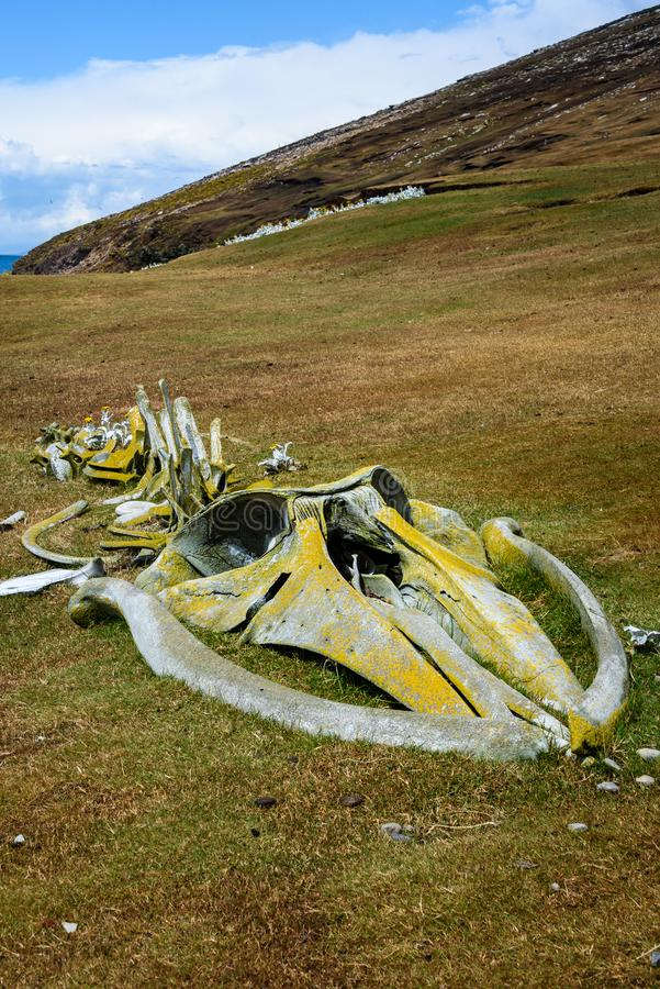 Lichen covered whale skeleton on a grassy hillside West Falkland island, Falkland Islands royalty free stock photo