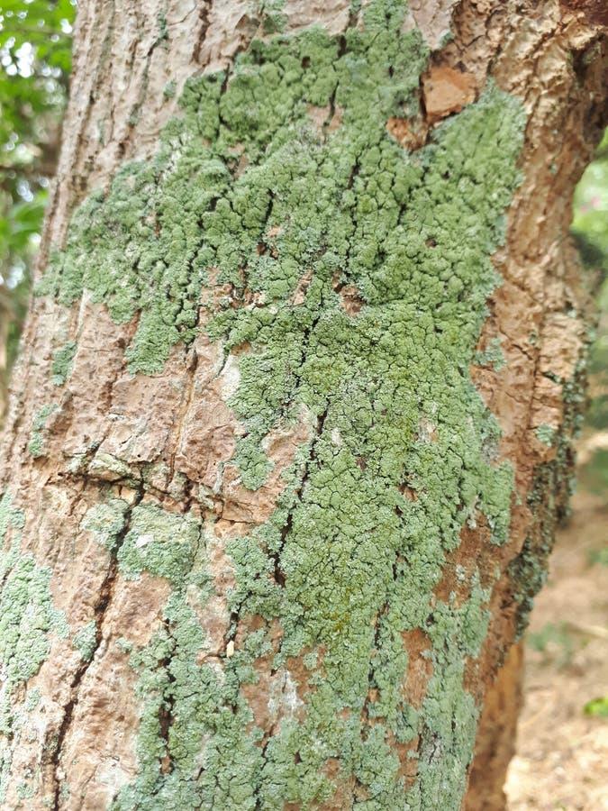Lichen Crustose photo stock