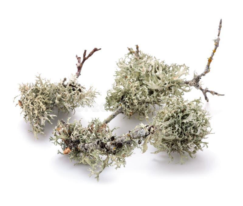 Lichen d'arbre images stock