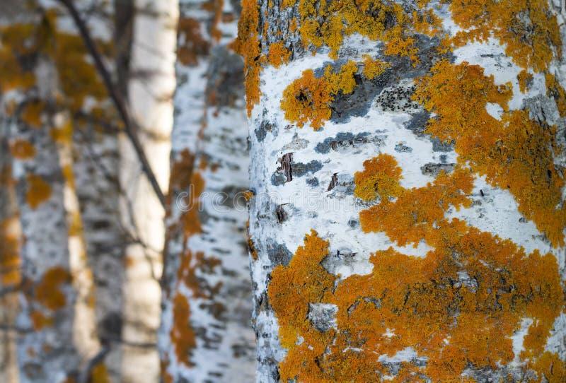 Lichen d'or de bouclier photographie stock