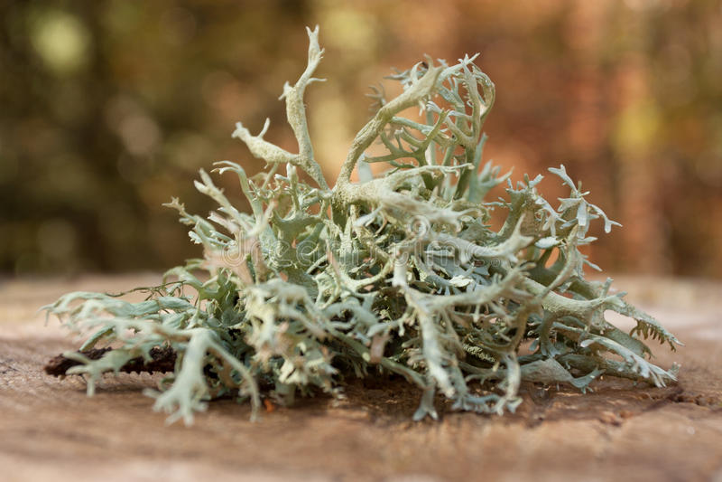 Lichen. Detached lichen on tree stump stock image