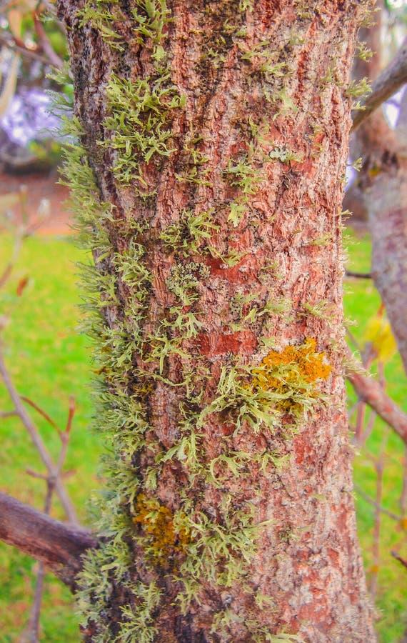 lichen et mousse sur la tige de l'arbre image stock
