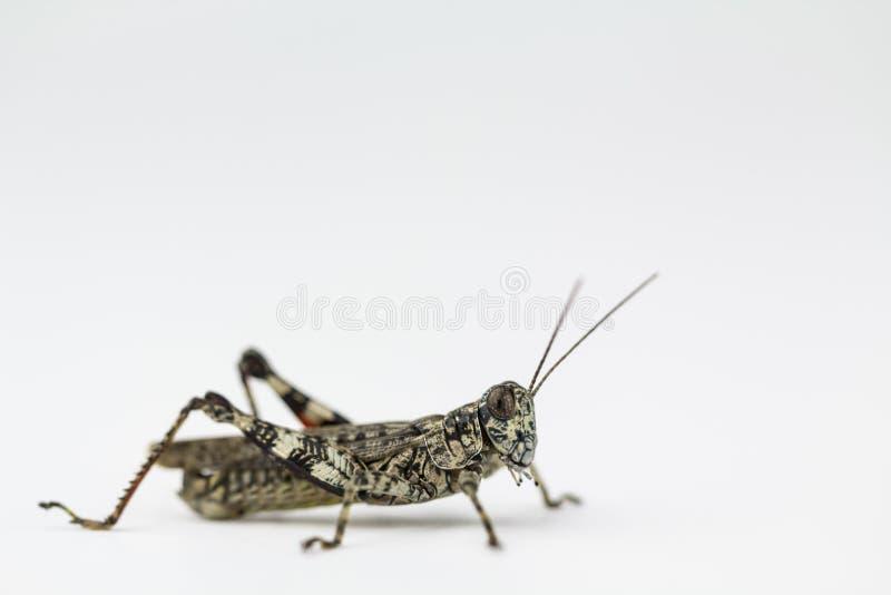 Lichen grasshopper in North Carolina stock images