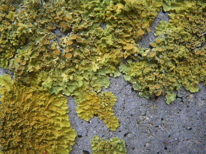 Lichen growing on a concrete post. Photo of lichen growing on a concrete post. Lichen is green and yellow stock image