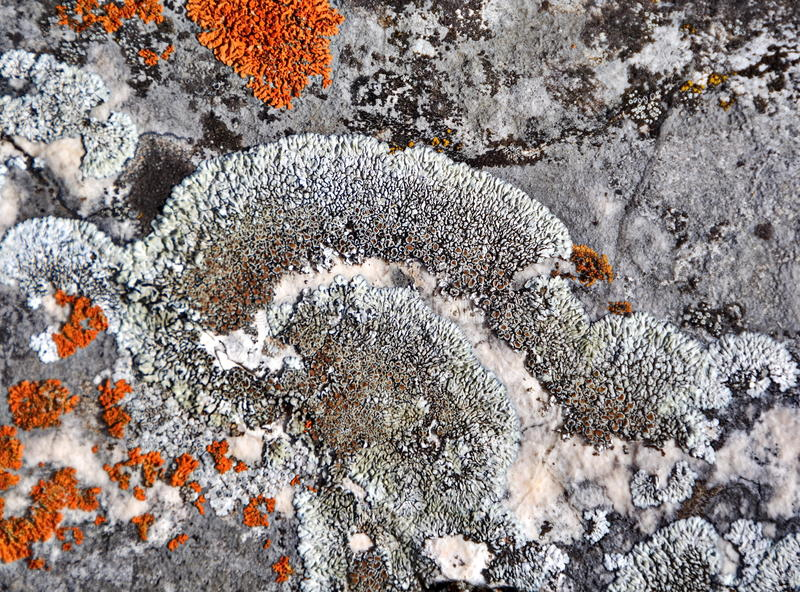 Lichen growing on rock. Closeup of lichen growing on porous rock surface stock photography