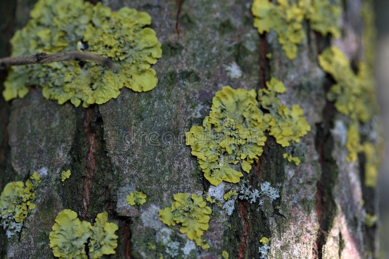 Lichen grows on the bark of a tree. Shot close up stock photos