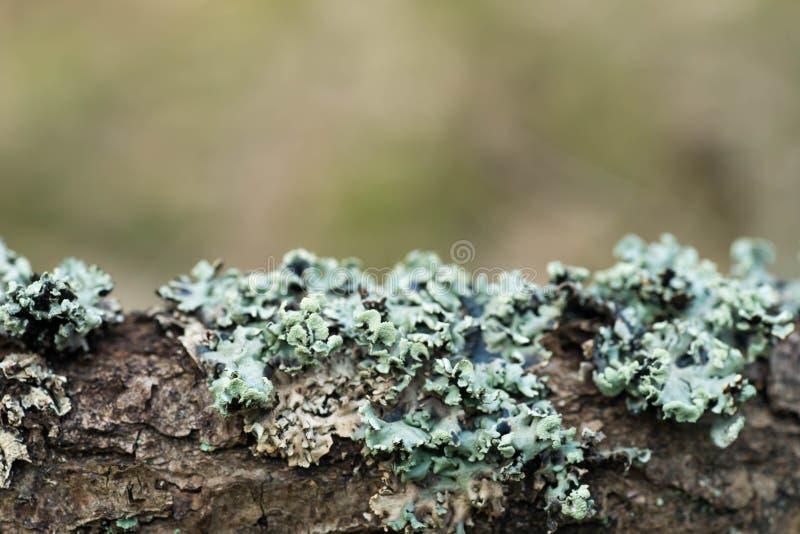 Lichen hypogymnia physodes on tree branch royalty free stock photo