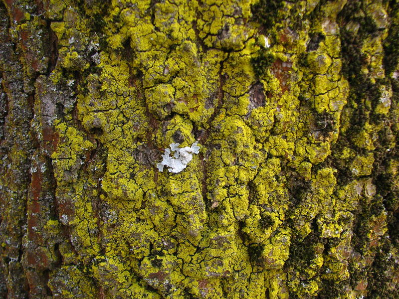 Lichen jaune sur le plan rapproché d'écorce d'arbre de cendre images libres de droits