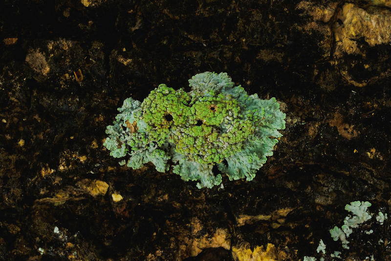 Lichen. S occur in areas with high humidity royalty free stock photos