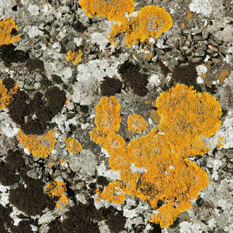 Lichen and moss on stone, macro - square crop stock photo