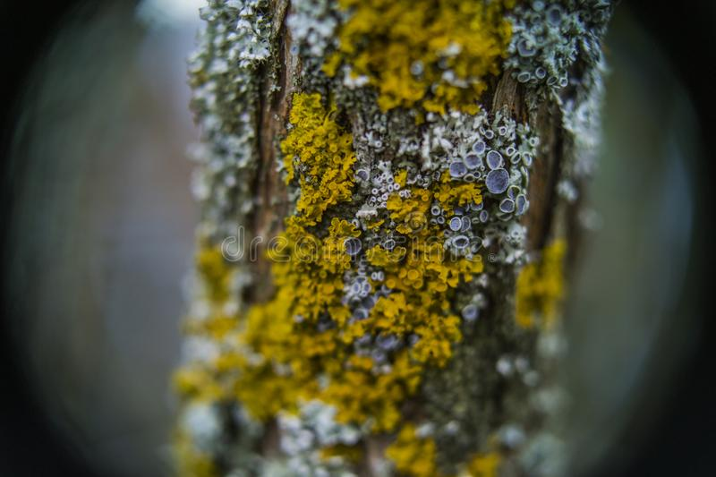 Curly and yellow lichen stock images