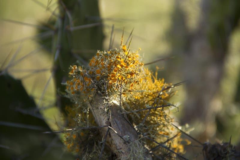 Lichen orange sur la branche de cactus photo stock