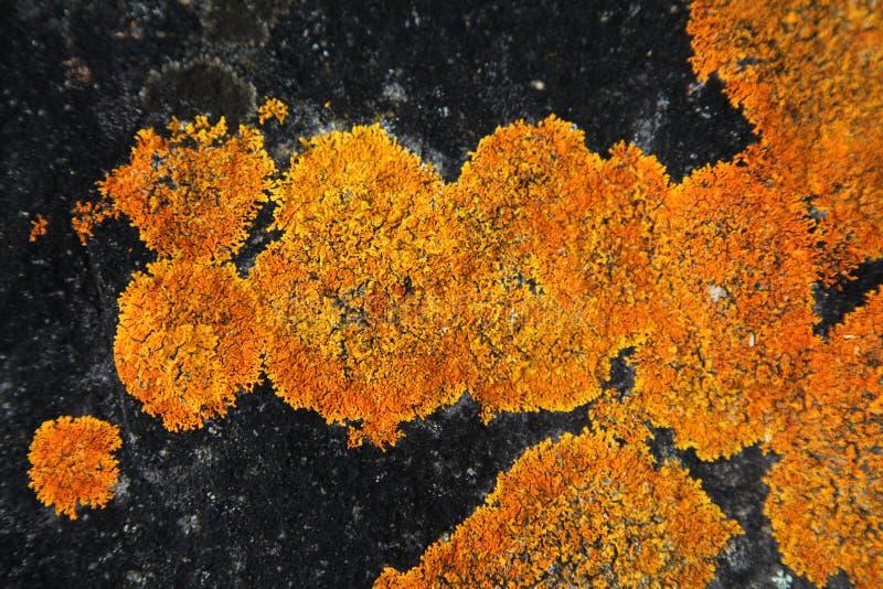 Lichen orange sur une roche noire photographie stock