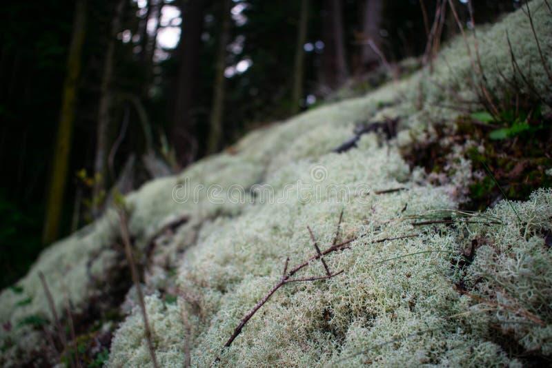 Lichen Patch na floresta imagem de stock