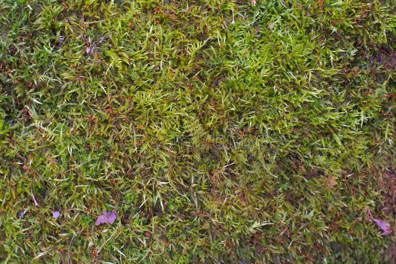 Lichen peat moss green nature rain forest texture background. Green lichen background rain forest peat moss fungus vegetation stock image