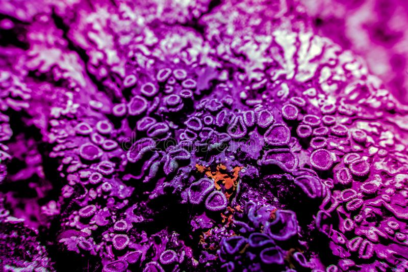 Lichen in ultraviolet royalty free stock image