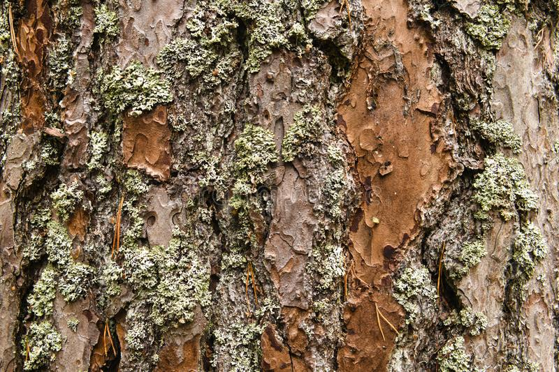 Lichen on Scots Pine. A close up image of lichen growing on Scots Pine, Pinus sylvestris, bark. 18 October 2018 royalty free stock photos