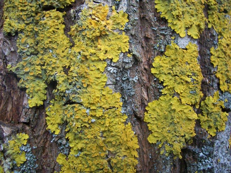 Lichen sur l'écorce de saule images stock