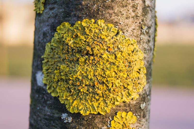 Lichen sur le cortex de l'arbre image stock