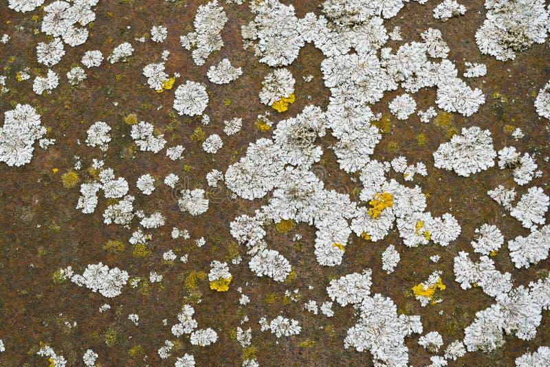 Lichen sur un métal rouillé photo stock