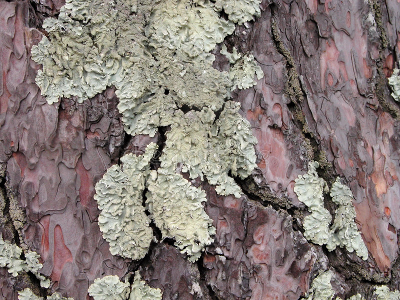 Lichen sur une écorce d'un arbre images libres de droits